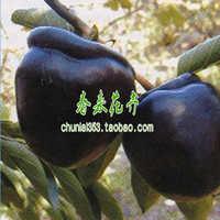 出售果树苗黑柿柿子树品种齐全秒杀价当年结果