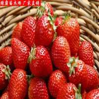 特价草莓苗盆栽果树苗四季结果草莓