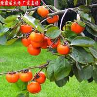 果树苗嫁接柿子树苗日本甜柿子苗结果柿苗当年结果包邮