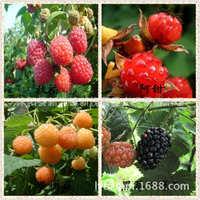 盆栽野生树莓苗山莓刺泡覆盆子苗红树莓黄树莓黑树莓果树苗