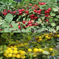 第三代珍稀水果钙果种苗中华农大钙果红果黄果种苗基地批发