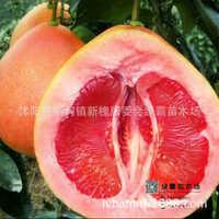 果树柚子苗三红蜜柚红肉红皮三红柚子树苗红肉柚子苗产地直销