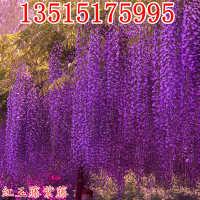 庭院攀援植物爬藤植物紫藤苗紫藤树苗盆栽紫藤花苗紫腾萝花苗