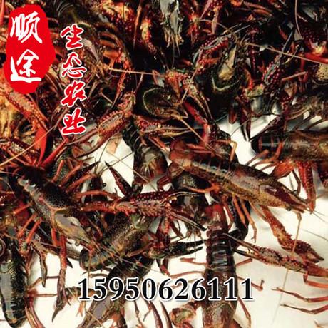 繁殖基地直销龙虾苗淡水养殖红龙虾苗种虾虾苗活体繁育