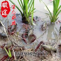 养殖基地生态农业直销小龙虾苗水产小龙虾