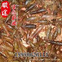 生态农业直销小龙虾苗水产养殖基地小龙虾