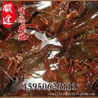 淡水小龙虾批发龙虾苗养殖池塘藕塘养殖