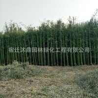 供应庭院栽培小型竹子青皮竹小苗观赏型竹子树苗青竹小苗