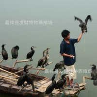 厂家出售自家繁殖的种鱼鹰苗/出售一年的公鱼鹰/租赁鸬鹚表演包邮