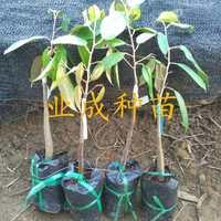 泰国金枕榴莲苗热带果树苗