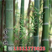 批发庭院绿化青竹苗盆栽植物竹子苗绿化工程竹子苗量大从优