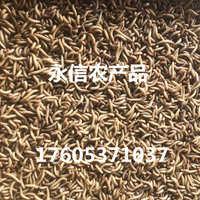 批量供应黄粉虫活体面包虫可做饲料厂家直销价格低廉