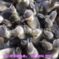 狮头鹅苗的价格纯种四川白鹅苗,灰鹅苗,优质鹅苗,大种鹅苗