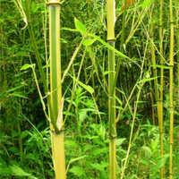 供应金镶玉竹苗大量批发金镶玉竹自产自销园林绿化行道树