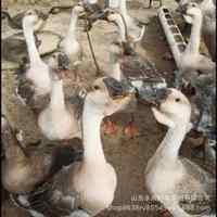 鹅苗孵化场直销大种鹅苗纯种狮头鹅苗白狮头鹅苗活体批发包邮