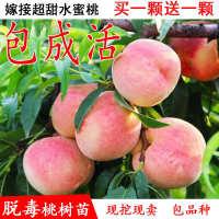 桃树苗嫁接果树苗水蜜桃黄桃油桃盆栽地栽南方北方种植当年结果