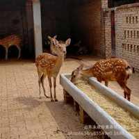 优质梅花鹿种鹿批发中国梅花鹿之乡哪里有卖梅花鹿种苗的鹿产品