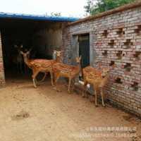 成年梅花鹿多少钱一只梅花鹿的养殖条件梅花鹿鹿茸的作用