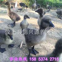 四川白鹅苗价格一只大白鹅苗的出售价格狮头鹅苗养殖基地
