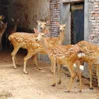 梅花鹿价格湖北哪里有养殖纯种梅花鹿的一只小鹿多少钱