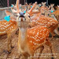 训好的梅花鹿价格优惠浙江梅花鹿活体养殖基地品相好种公母鹿
