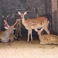 买梅花鹿种鹿哪里有卖的梅花鹿有多高梅花鹿图片视频养殖信息