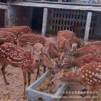 训好的宠物梅花鹿价格东北梅花鹿养殖基地成年公母鹿直销出售