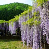 庭院爬藤植物紫藤萝花苗紫藤树苗公园长廊攀援围墙地栽爬藤花卉