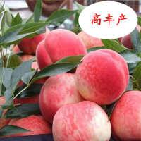 桃树苗水蜜桃苗桃树南方北方种植嫁接果树苗特大新品种桃子苗桃树
