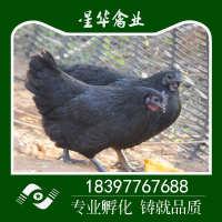 五黑鸡苗乌鸡苗绿壳蛋鸡苗五黑一绿鸡苗优质五黑绿壳蛋鸡苗批发