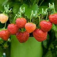 法兰帝水蜜桃菠萝桃熏白草莓苗白雪公主盆栽窗台阳台花园结果