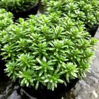 新百叶坨草活体水草水族箱造景有茎类观赏后景草批发光合水草