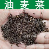 优质油麦菜种子苦菜牛俐生菜四季莜麦菜种子长叶莴苣1件=1斤