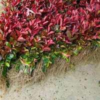 红叶石楠树苗火焰红四季球形庭院绿化苗绿篱植物工程大杯苗红罗槟