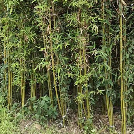 优质金镶玉竹,庭院景观绿化竹