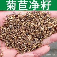牧草种子优质菊苣种子药食两用适口性好菊苣草净籽1件=1斤