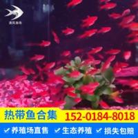 出售热带活体淡水鱼喷火灯鱼小型观赏热带鱼喷火灯鱼批发
