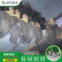 新华禽畜厂家直销优质脱温鸡青脚V3瑶鸡雏青年青脚土鸡黑瑶公