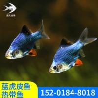 海洋馆活体蓝皮鱼虎皮鱼热带鱼小型淡水宠物鱼观赏虎皮鱼热带鱼