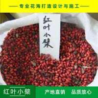 红叶小檗红叶小波种子紫叶小檗种子产地直销免费提供播种技术