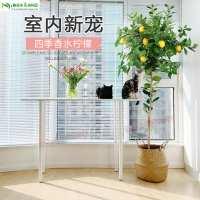 香水柠檬树大型客厅室内盆栽花卉四季阳台北欧高杆植物网红绿植