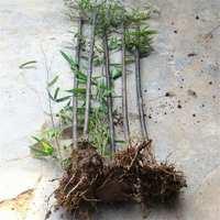 紫竹苗别名黑竹墨竹竹茄乌竹庭院绿化彩另有子色竹金镶玉竹