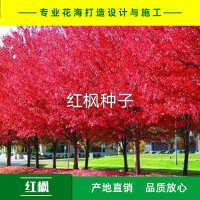 中国红枫种子美国红枫种子日本红枫种子产地直销免费提供播种