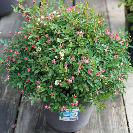 阳台微型月季玫瑰花苗庭院好养四季开花不断浓香花卉植物盆栽绿植