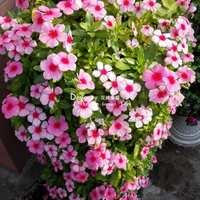 垂吊长春花日日春进口花苗穴盘播种苗花卉阳台桌面花盆栽开花耐.