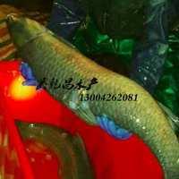 螺蛳青大青鱼鲜活水产青鱼淡水青鱼苗乌青鱼活体优质鱼送垂钓场