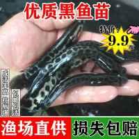 黑鱼苗活体淡水小鱼苗养殖生财乌鱼苗观赏鱼放生乌龟饲料黑鱼鱼苗