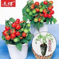 樱桃番茄苗西红柿苗千禧番茄苗有机番茄种子苗盆栽矮番茄