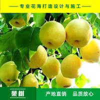 梨树梨树种子棠梨种子杜梨种子产地直销