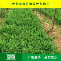 苜蓿紫花苜蓿种子多年生耐旱高产牧草种子产地直销